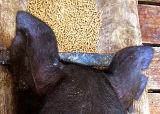 Piggie Ears