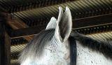 Horsey Ears