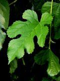 Weeping Fig Leaf