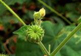 Exotic Velvet Leaf