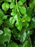 Leaves of the Secret Arbor