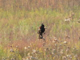 Confused Redwing Solon Prairie