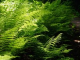 from my left hand - touch of fern