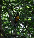 Black-headed trogon_coba.JPG