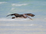 Brown Pelican_pez maya_in flight_2.JPG
