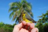 Canada Warbler_palm tree_1JPG.jpg
