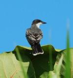 Eastern Kingbird_seagrape_1.JPG