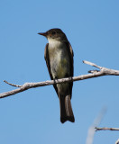 Eastern Wood Pewee_1.JPG