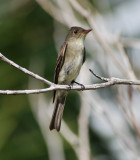 Eastern Wood Pewee_3.JPG