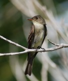Eastern Wood Pewee_4.JPG