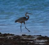 Great Blue Heron_beach_Punta Allen_1.JPG