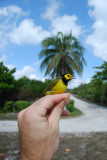 Hooded Warbler_palm tree_1.JPG