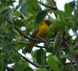 Mangrove Warbler_male_1.JPG