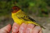 Mangrove Warbler_male_2.JPG
