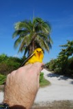 Prothonotary Warbler_palm tree_1.JPG