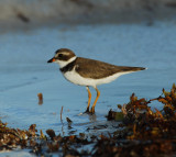 Semipalmated Plover_SK_1.JPG