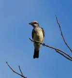 Tropical Kingbird_San Juan_1.JPG