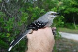 Tropical Mockingbird_1.JPG