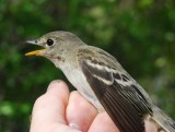 Tropical Pewee_1.JPG