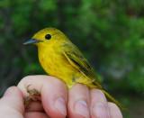 Yellow Warbler_chenchomec_1.JPG