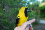 Yellow-backed Oriole_1.JPG