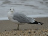 Ring-billed Gull_Cape May_1_Nov 08 SGS.jpg
