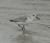 Sanderling_Cape May_1_Nov 08 SGS.jpg