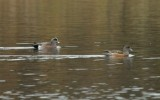 American Wigeon_Cape May_1_SS.jpg