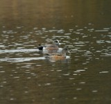 American Wigeon_Cape May_2_SS.jpg