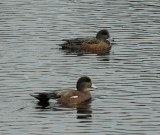 American Wigeon_Cape May_5_SS.jpg