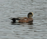American Wigeon_Cape May_4_SS.jpg