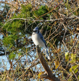 Blue Jay_Cape May_2_SS.jpg