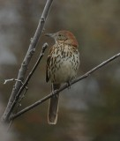 Brown Thrasher_Cape May_1.jpg