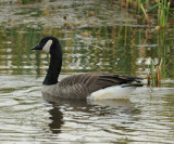 Canada Goose_Cape May_1_SS.jpg