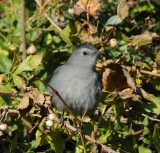 Gray Catbird_Cape May_1_ss.jpg
