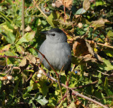 Gray Catbird_Cape May_2_SS.jpg