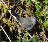 Gray Catbird_Cape May_3_SS.jpg