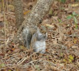 Gray Squirrel_Cape May_1_SS.jpg
