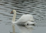 Mute Swan_Cape May_1_SS.jpg