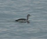 Red-throated Loon_Cape May_1_SS.jpg