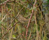 Song Sparrow_Cape May_1_SS.jpg