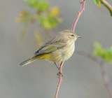 Western Palm Warbler_Cape May_1.jpg