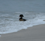 Wood Duck_Cape May_1_SS.jpg