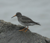 Purple Sandpiper_Higbee Beach_1_Nov 08_SGS.jpg