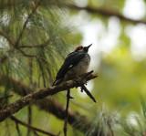 Acorn Woodpecker_San Cristobal