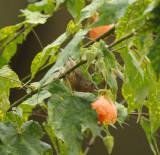 Cinnamon-bellied Flowerpiercer_female_Moxviquil