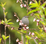 Gray Catbird_Moxviquil