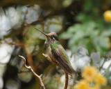 Magnificant Hummingbird_1_Moxviquil