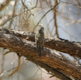 possible Pine Flycatcher_2_Moxviquil