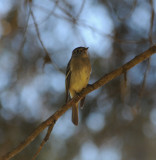 possible Pine Flycatcher_4_Moxviquil